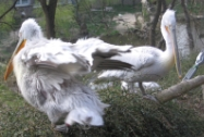 Pelicans in Prague Zoo